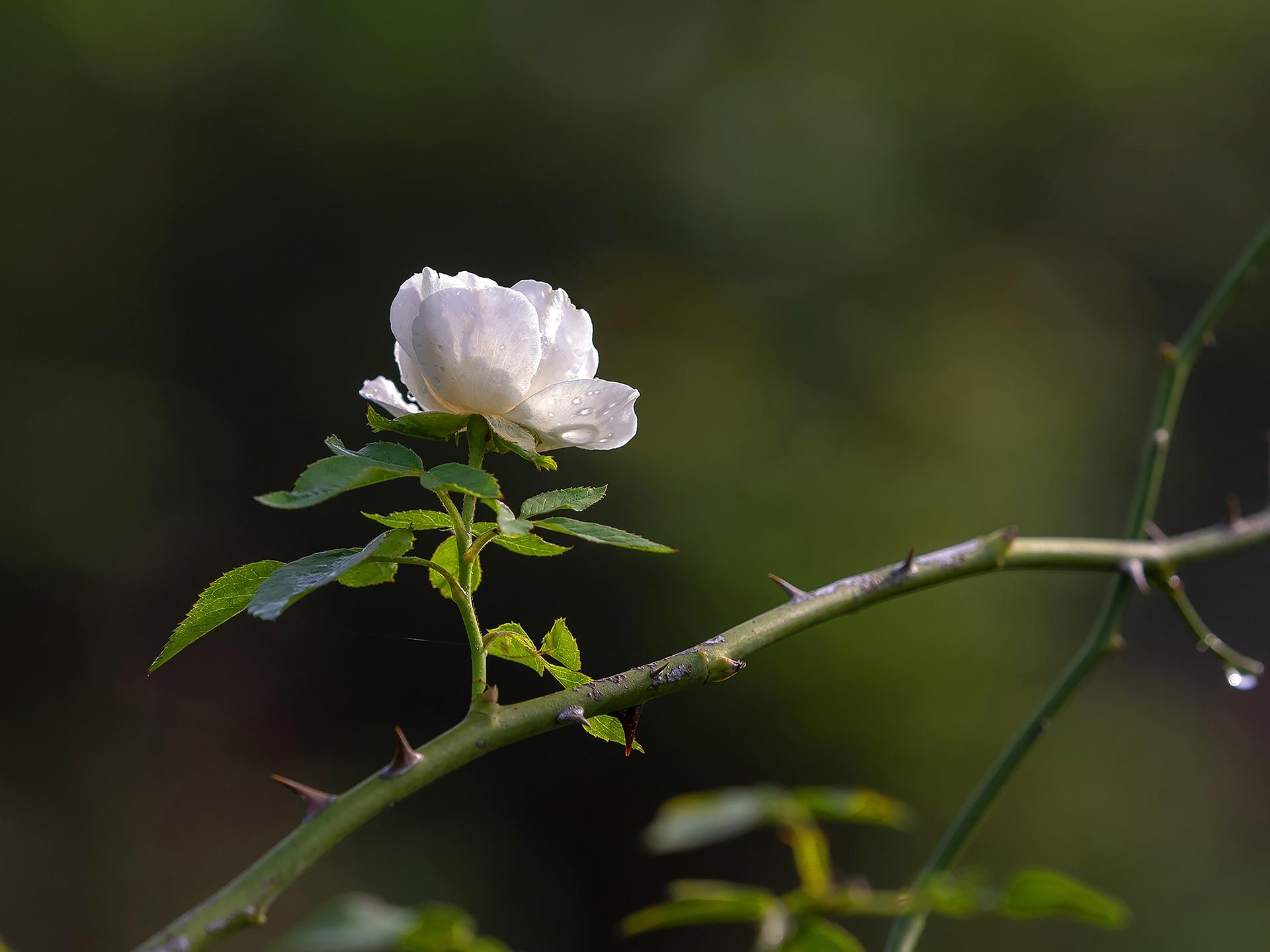 Eén roosje